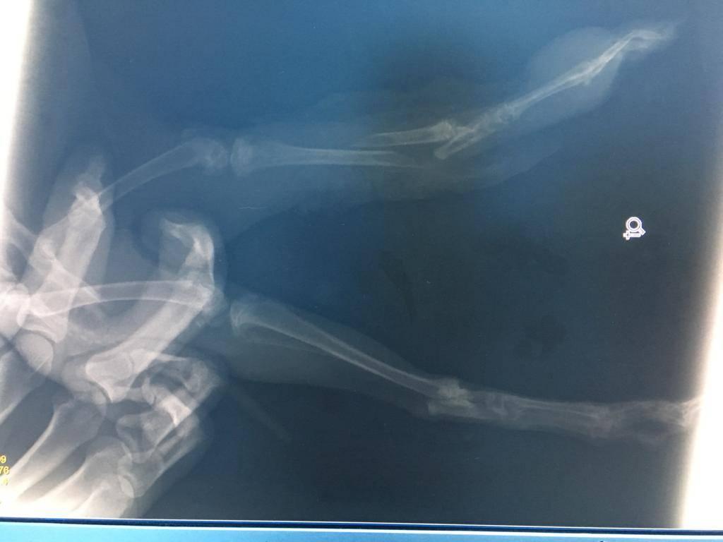 Ayağı Kırık Tavşan Hayvan Hastanesinde Ameliyat Edildi